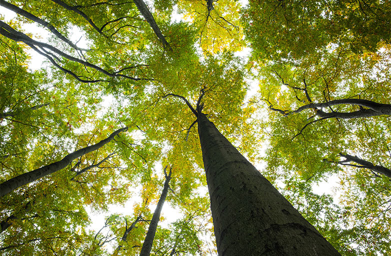 Looking up through the tree canopy